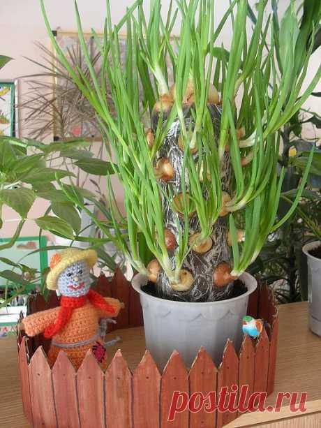 Как вырастить зелёный лук дома: витаминный «кактус»..