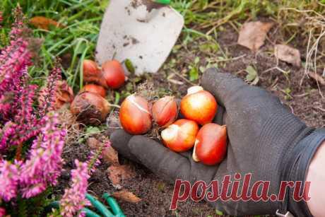 Сажать нельзя хранить: если опоздали с посадкой луковичных | 7 дач | Яндекс Дзен