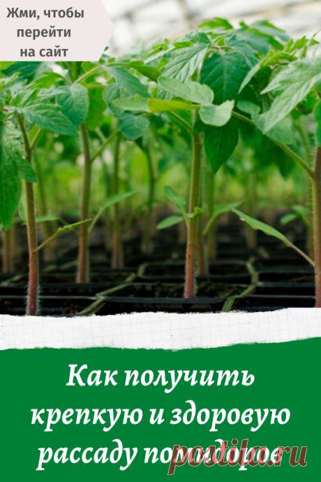 Как получить крепкую и здоровую рассаду помидоров