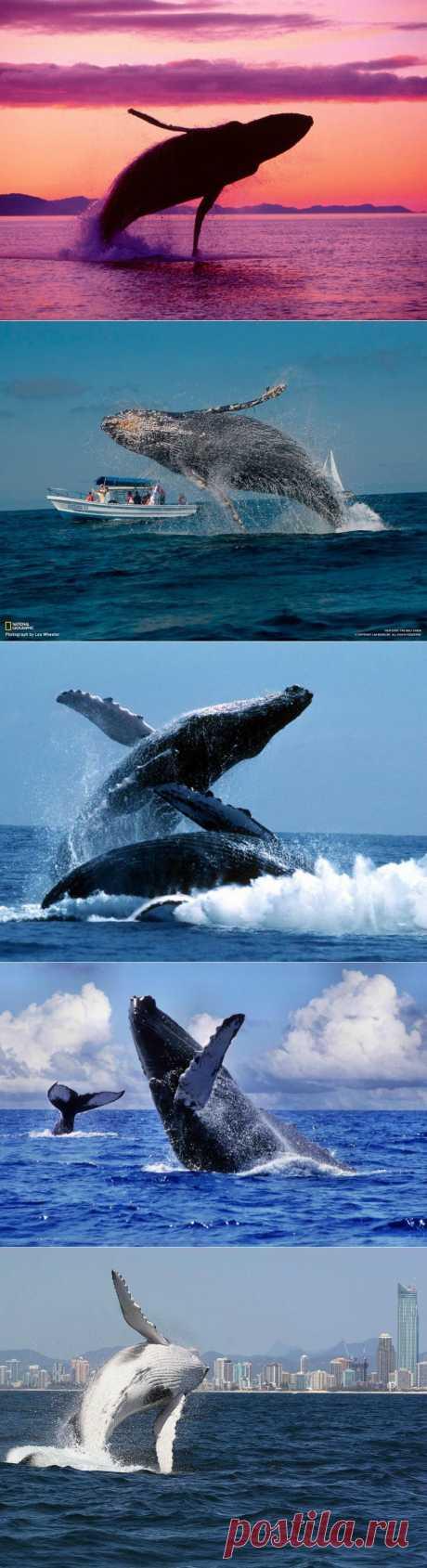 Прыжки горбатых китов : НОВОСТИ В ФОТОГРАФИЯХ