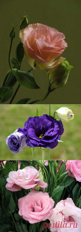 Эустома - цветок веселья и радости