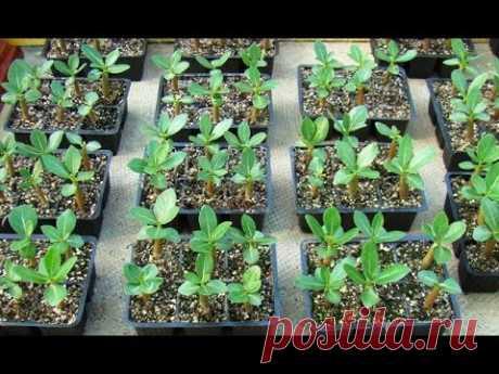 Как вырастить адениум из семян - YouTube