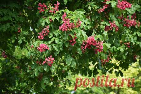 Красный конский каштан, которому не страшна минирующая моль. Сорта, использование в дизайне. Фото — Ботаничка.ru