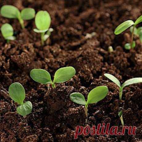 Усадьба | Огородник : Выращиваем рассаду правильно. Томаты, перцы, баклажаны