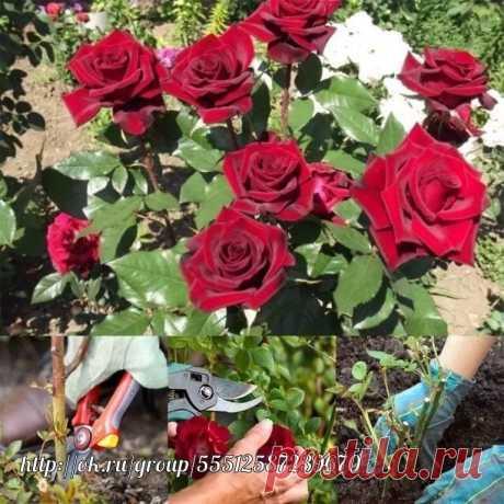 ОСОБЕННОСТИ УХОДА ЗА РОЗАМИ Вернемся к нашим самым обаятельным и привлекательным цветам - розам. Казалось бы мы уже сделали самое главное - выбрали отличные саженцы и правильно их посадили на самом лучшем участке нашего сада, но не все так просто. Наша королева не только прекрасна, но и очень капризна, строга и прихотлива, впрочем как и все настоящие королевы и требует к себе постоянного внимания. Она может не простить даже маленькие наши ошибки. Поэтому нам очень важно также знать, что любит и