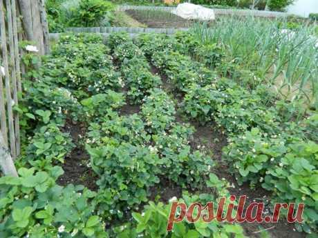 Удачные виды мульчи для сада и огорода В последнее время очень много написано о мульчировании почвы. Однако, мульча все еще слабо применяется на грядках наших дачников.Если говорить о целях использования, можно выделитьтри основных катего…