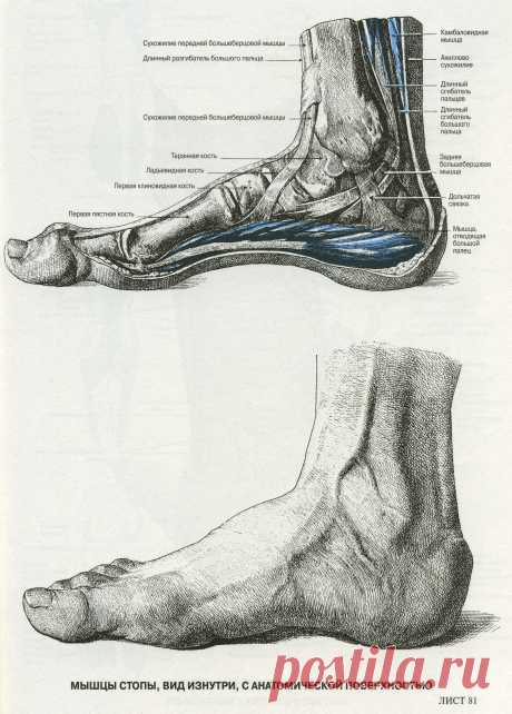 Мышцы стопы. Вид изнутри