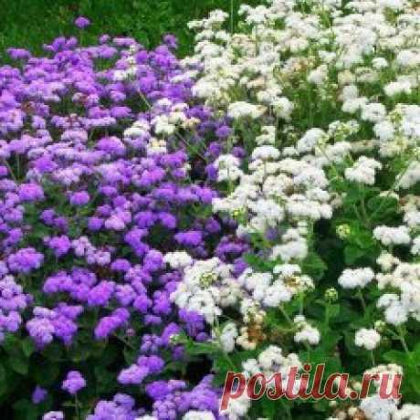 Агератум – украшение клумбы и балкона. Некоторыми декоративными растениями можно любоваться как в саду, так и в домашних условиях. К таким растениям относится и агератум. Сейчас это красивое растение можно часто встретить на городских клумбах, где оно своими небольшими пушистыми цветками создает сплошной ковер. Латинское название этого растения произошло от греческого ageratos, что означает «не стареющий, всегда молодой, долгоцветущий». Понятно, что название это оно получи...