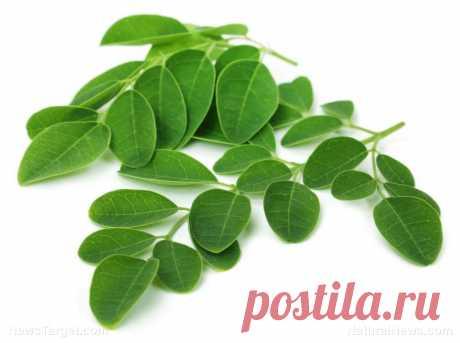 6 научно обоснованных преимуществ для здоровья моринги, мощной лекарственной травы (плюс рецепты)