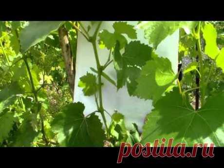 Виноградные пасынки Польза и вред