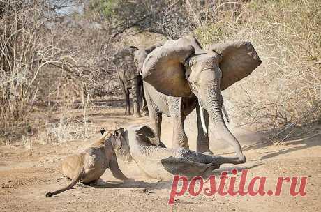 Мать-слониха прибежала на помощь и отогнала хищниц