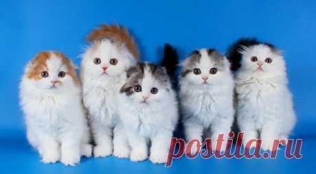 Котята породы хайленд-фолд, что может быть милее? Очаруйтесь вместе с нами - Сабрина