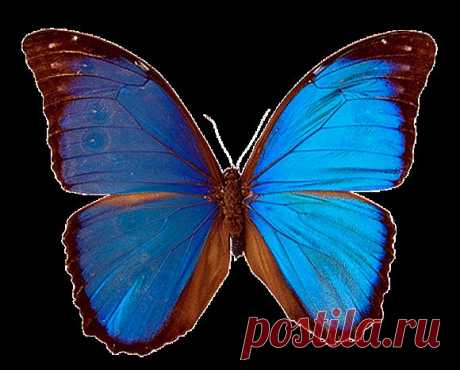 Бабочки. Морфо менелай (Morpho menelaus).