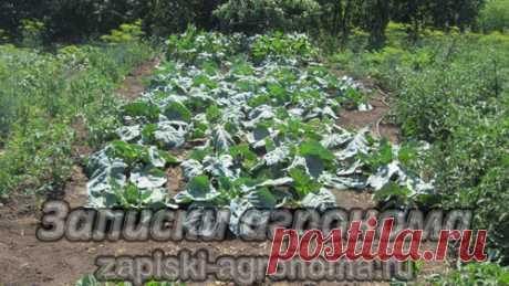 Уход за овощными культурами • zapiski-agronoma.ru