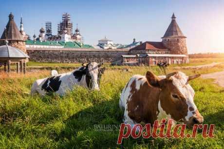 Коровы у Соловецкого монастыря с удовольствием позируют туристам. Автор фото — Yuliya Baturina: