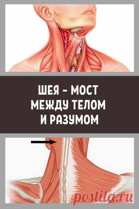 Шея – мост между телом и разумом… - Калейдоскоп событий Вобласти шеи проходят 4 основных артерии и8 крупнейших нервов,неговоря уже оспинномозговом канале. Они осуществляют кровоснабжение головы,органов грудной части туловища иверхних конечностей,проводят различные виды раздражений,контролируя нервную деятельность. ЗдороваяШЕЙНО-ВОРОТНИКОВАЯЗОНА— важное связующее звено […]