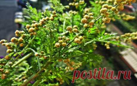 The wormwood one-year is capable to destroy to 98% of cancer cells