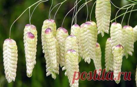 Трясунка - выращивание и размножение элегантного злака