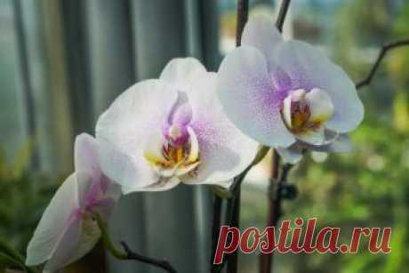 На какое окно поставить орхидею и нужно ли переставлять цветок   Полезно (Огород.ru)