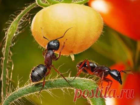 Как распрощаться с муравьями в саду   О Фазенде. Загородная жизнь   Яндекс Дзен