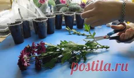 Простой способ укоренения хризантем из букета / Домоседы