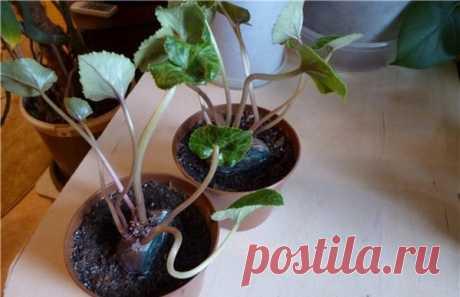 Цикламен из семян в домашних условиях: советы по посадке и уходу