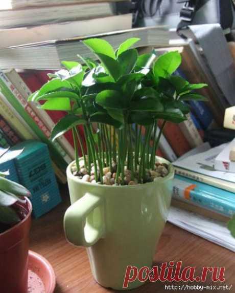 Зеленый островок или как вырастить грейпфрут (лимон) в чашке..