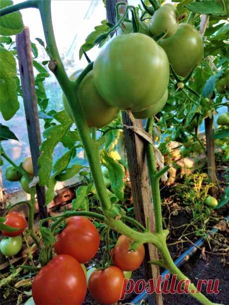 Снимаю помидоры еще зелеными и получаю еще почти столько же. Нужно только полить и подкормить.