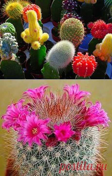 Уход за кактусами | Домохозяйки