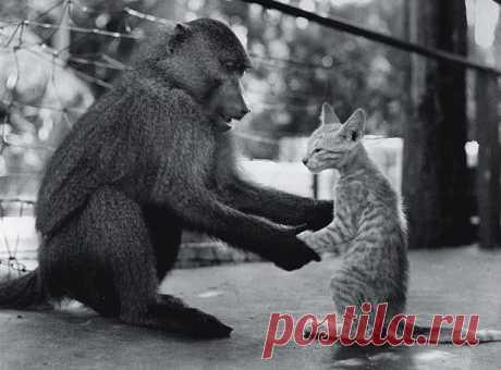 Котенок Пушок старается перенять обезьяньи повадки. Эта фотография, присланная в журнал National Geographic в 1956 году, была опубликована лишь спустя 50 лет. Вот текст комментария к фотографии: «Самка павиана пытается заставить Пушка сидеть так, как должна сидеть хорошая маленькая обезьянка. Но бедняга все время опускается на четыре лапки. Похоже, ничего не выйдет». Павианиха по кличке Хелен была достопримечательностью придорожного зоопарка Росса Алена, основанного в 1929 году в…