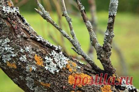 Как избавиться от мхов и лишайников на яблонях и грушах? В моем саду в деревне на яблонях и грушах появились мхи и лишайники, как от них избавиться? С. Ковалев, Белыничский район.