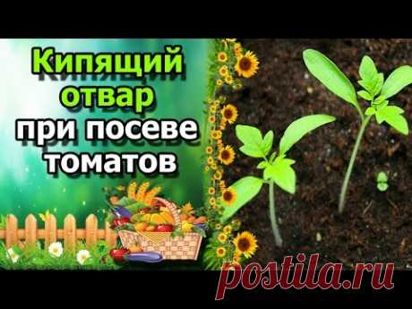 \ud83c\udf45 Crops of tomatoes by means of broth of an onions peel. Seius with boiled water.