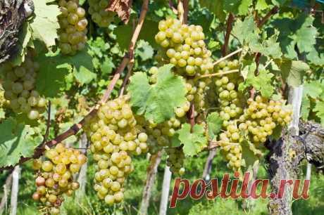 Летняя обрезка винограда: необходимая мера и нюансы ее выполнения | Азбука огородника | Яндекс Дзен