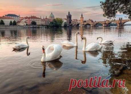 Prague swans.