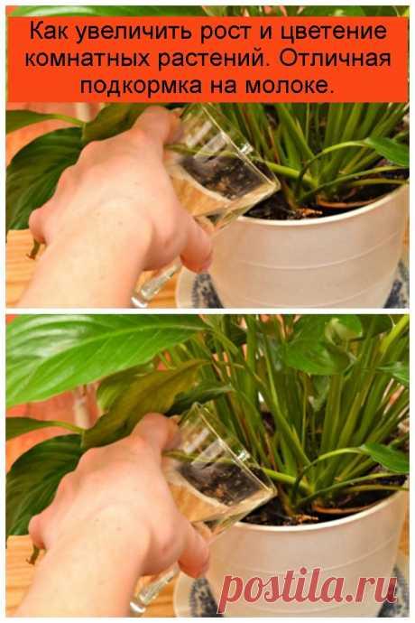 Как увеличить рост и цветение комнатных растений. Отличная подкормка на молоке.
