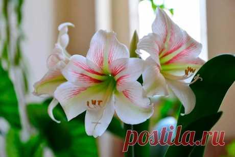 Гиппеаструм: уход за цветком в домашних условиях, родина растения, пересадка и размножение