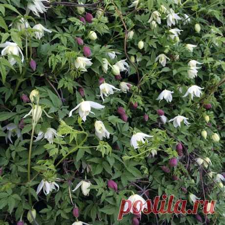 Что посадить около забора? С красивыми цветочками, многолетнее, чтобы не требовало ухода и загородило от соседей? | Растения от Катерины | Яндекс Дзен