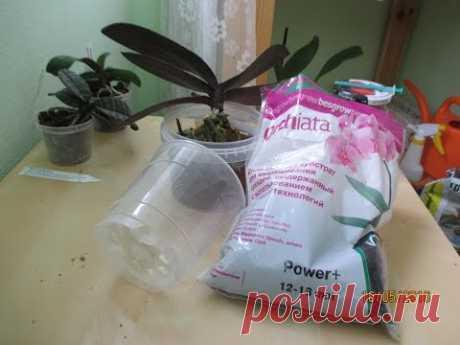 Пересадка орхидеи фаленопсис Schilleriana