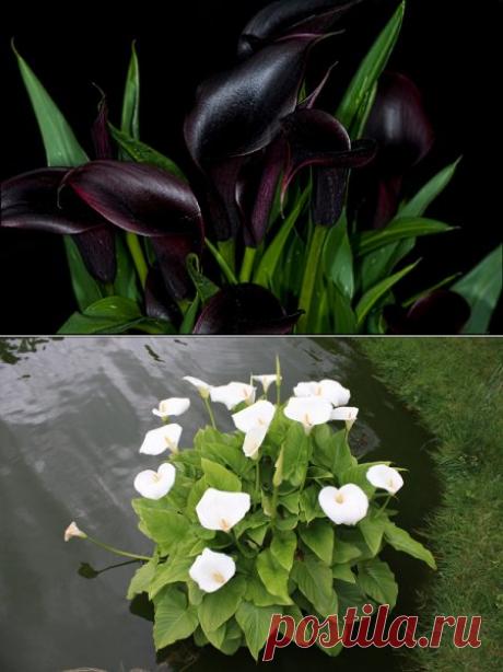 Калла (Calla) Зантедеския или Белокрыльник » Домашние цветы