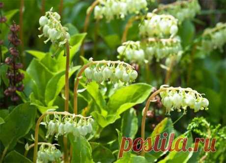 БОРОВАЯ МАТКА   Название на латыни: Оrtilium secunda   Синонимы: боровушка, женская трава, ортилия.  Показать полностью…