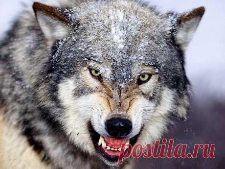 Волк  2352, , basik.ru