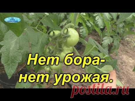 Обязательная обработка томатов бором. Это ОЧЕНЬ поможет сохранить завязи.