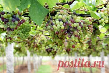 Полезные свойства винограда и рецепты — Делимся советами