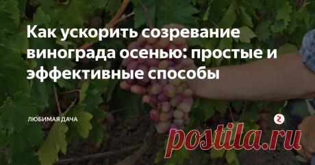 Как ускорить созревание винограда осенью: простые и эффективные способы Как приятно сорвать виноградную гроздь и насладиться вкусной ягодой прямо у себя в саду! Но иногда из-за некоторых неблагоприятных условий для винограда он дольше зреет. Опытные виноградари, а также обожатели ягоды уже давно узнали секрет о том, как созревание лоз сделать более быстрым. Я взяла на заметку некоторые их секреты, выбрала из них лучшие способы, и готова поделиться ими с вами. Нормиров