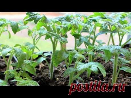 28. Проверенный временем способ выращивания рассады перца и помидор. - YouTube