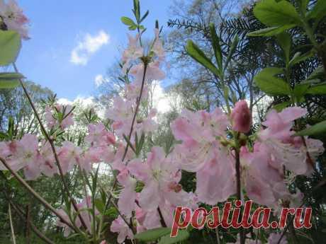 Рододендрон Шлиппенбаха (Rhododendron schlippenbachii) - СадДуши (Ботаническийсад ТвГУ) Тверь - 10.05.2020.  |  Онлайн праздник Бал тюльпанов