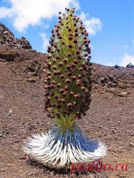 Серебряный меч или цветок терпения, цветет только раз за свою жизнь, растет только у подножия самых знаменитых вулканов Mauna Loa, Haleakala и Mauna Kea на Гавайях.