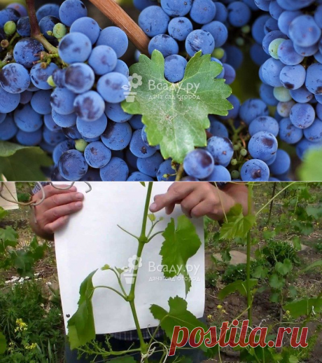 Уход за виноградом в июле, защита от вредителей и болезней