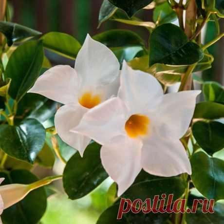 Комнатный цветок дипладения: размножение, выращивание, уход, фото Дипладения или, как ее еще называют, мандевилла — привлекательная цветущая лиана, которую часто выращивают в домашних условиях. Это растение отличается декоративностью и быстрым ростом. Но, чтобы доби...