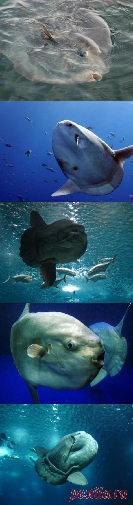 Смотреть изображения лун-рыб | Зооляндия